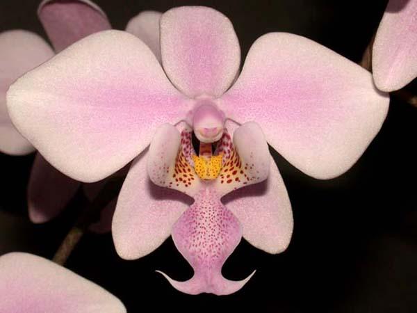 Внешний вид цветка фаленопсиса Шиллера