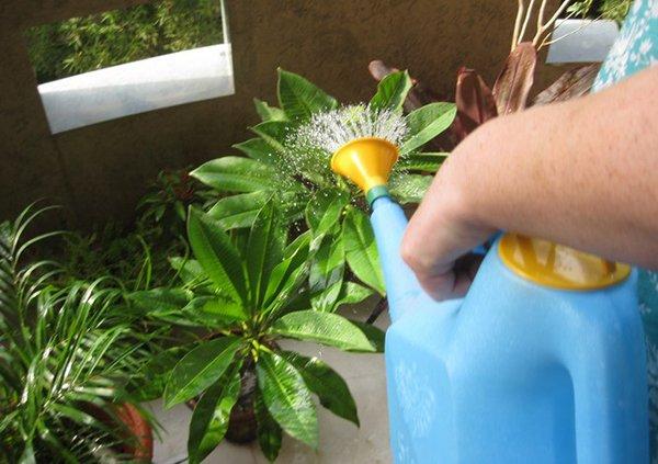 Перед поливом вода должна отстояться и нагреться