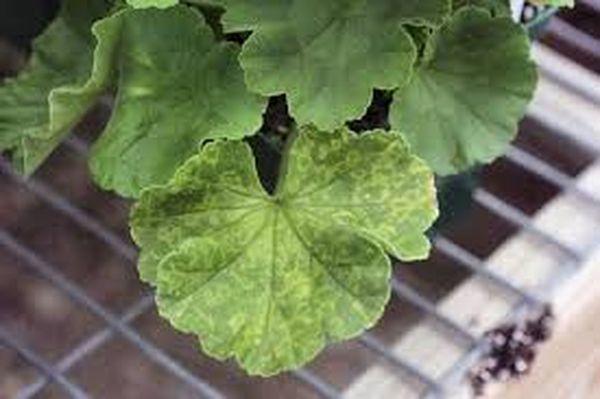Пятнистость листьев пеларгонии