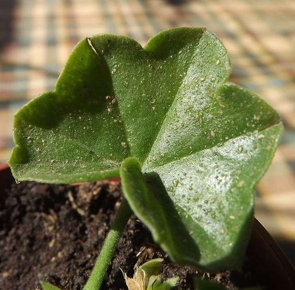 Отек листьев герани