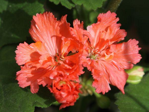 Гвоздикоцветная пеларгония напоминает гвоздику