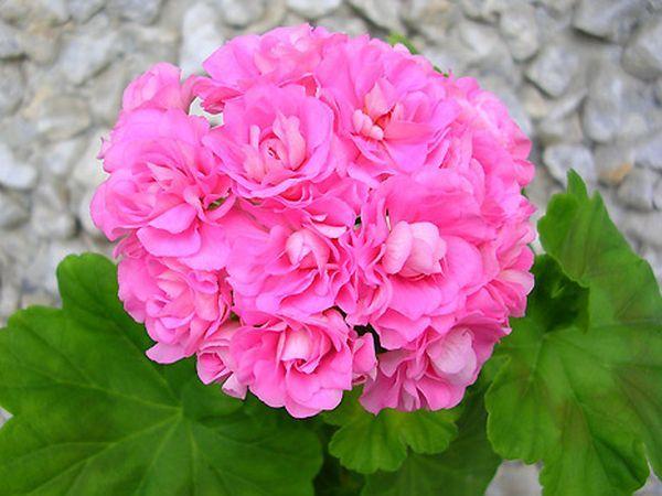 Сорт Australian Pink Rosebud