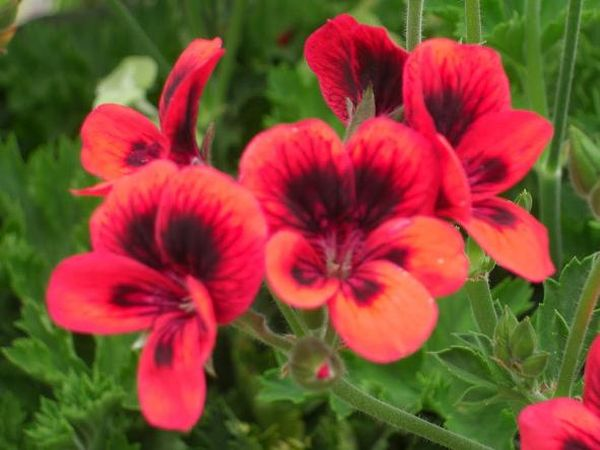 Пеларгония Crimson Unique