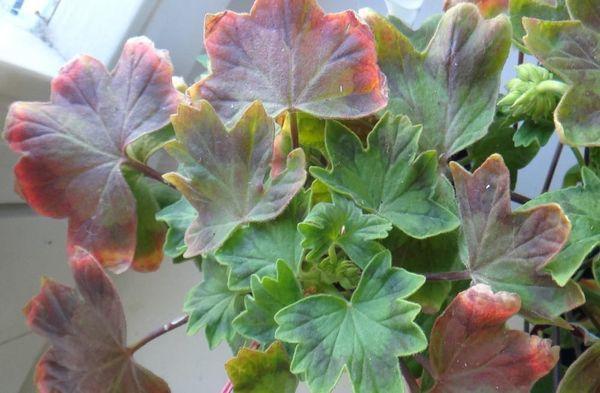 Покраснение листьев говорит о проблеме с растением