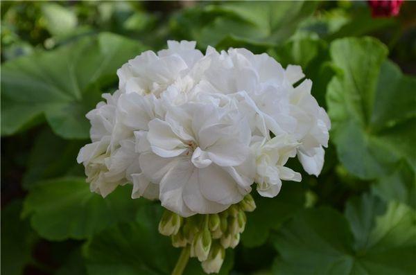 Сорт пеларгонии Gardenia