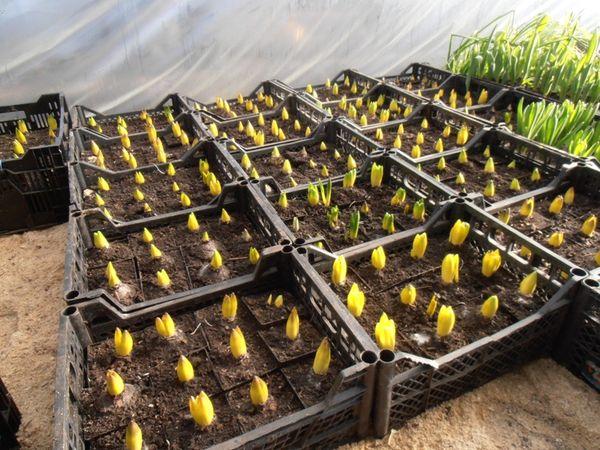После появления ростка уберите укрытие и переставьте горшок в прохладную комнату