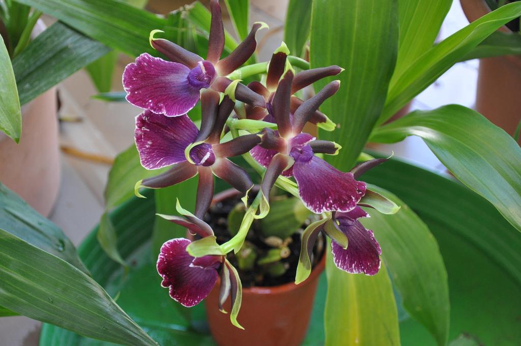 Зигопеталум – элегантный комнатный цветок