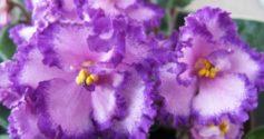 Лиловая сенполия вида Анастасия