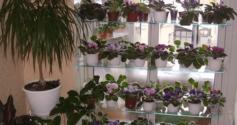 Особенности выращивания фиалок на подоконнике
