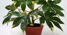 Почему у гортензии желтеют листья и как их вылечить