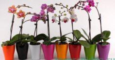 Карликовая орхидея – ваш новый цветочный друг