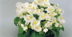 Сорта и лучшие выращивание вечноцветущей бегонии