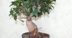 Почему не растет фикус Бенджамина и как помочь растению