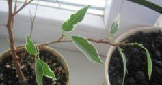 Почему опадают листья у фикуса и как помочь растению