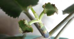 Почему у каланхоэ желтеют листья и как помочь растению