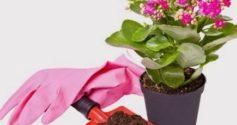 Как ухаживать за каланхоэ: пересадка после покупки