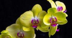 Желтая орхидея: описание и уход