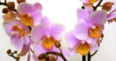 Мультифлора орхидея: что это такое, особенности