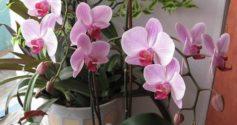 Что делать, если корни орхидеи вылезли из горшка