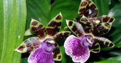Орхидея Зигопеталум: хрупкая красота для домашнего цветника